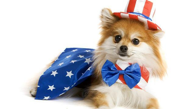 Dog wearing patriot wardrobe